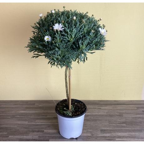 Magariten Stamm weiß; Topf 18cm